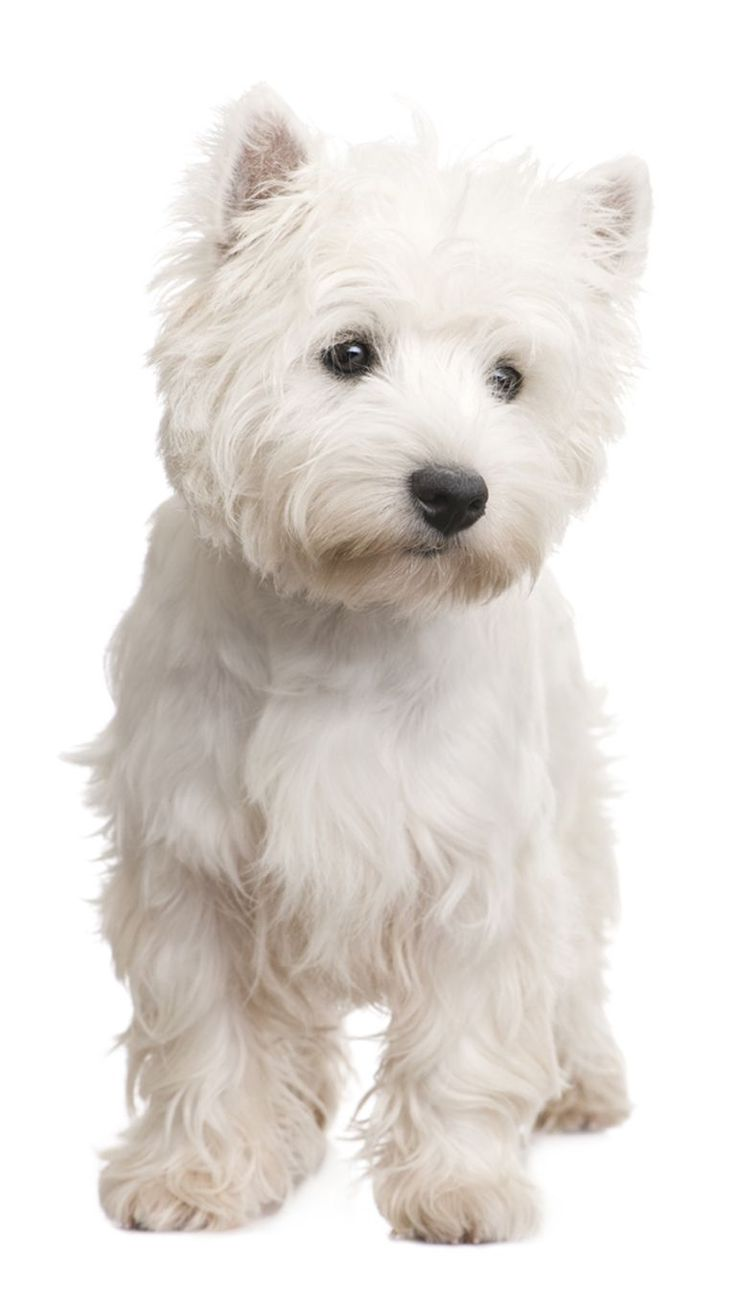 I love big dogs, but if I were to ever get a smaller dog, it would be a Westie...they're SO cute and playful!