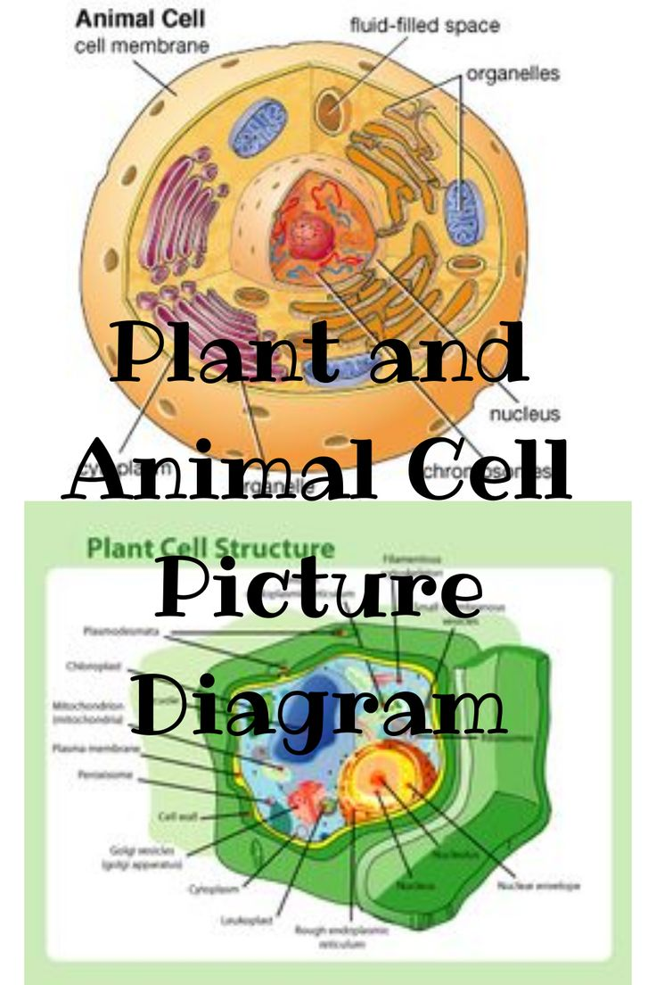 Plants VS Animal Cell Diagram Images in 2020 | Plant and ...