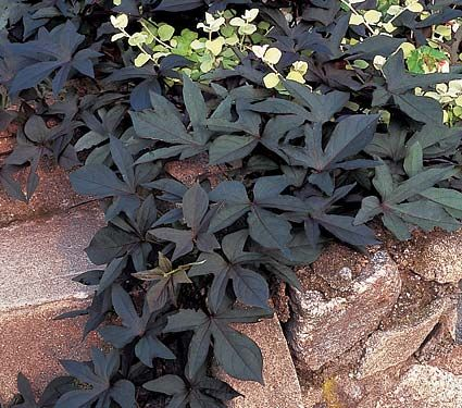 Ipomoea Blackie (sweet potato vine)