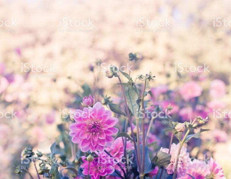 beautiful pink dahlias royalty-free stock photo