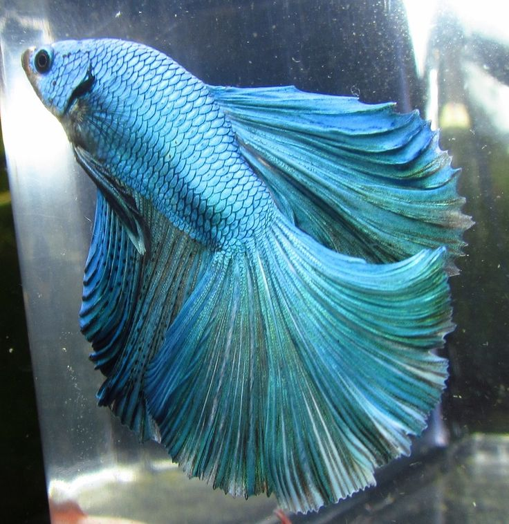 43 best c lia thia images on pinterest beautiful fish for Pretty freshwater fish