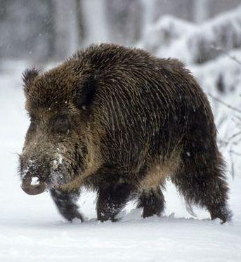 Lovely Wildschwein in Europa sind Wanderungen von km dokumentiert aber auch Distanzen