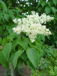 Japanese tree lilac-we have this tree along our back fence and it smells really good.