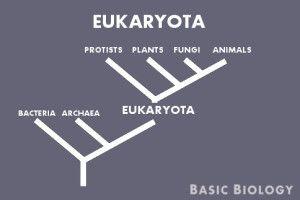 Eukaryota - Tree of life http://www.basicbiology.net/biology-101/tree-of-life/