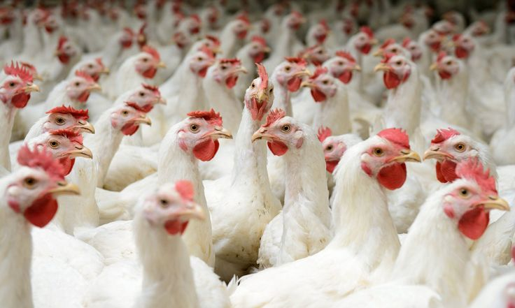2 Major Food Suppliers Adopt Widespread Animal Welfare Policies for Broiler Chickens - http://www.thefringenews.com/2-major-food-suppliers-adopt-widespread-animal-welfare-policies-for-broiler-chickens/