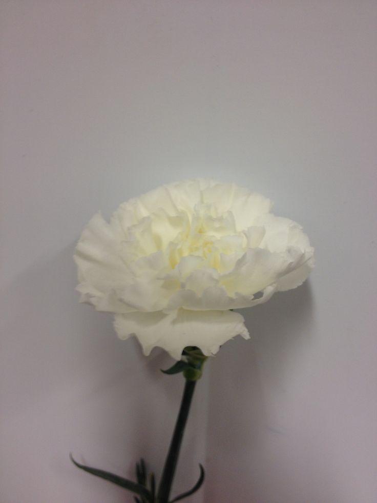 Dianthus - ... - Nellik - Hvit