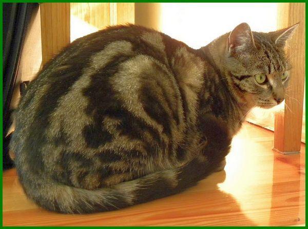 Jenis Kucing Kampung Campuran Yang Tangguh Dan Menawan Daftarhewan Com Kucing Penampungan Hewan Adopsi Kucing