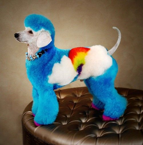 Is it wrong to want to dye a dog like this? Rainbow poodle.
