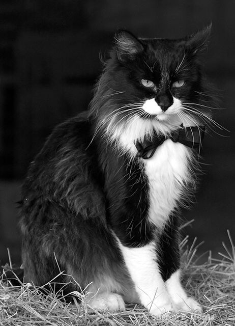 Handsome Tom CatFunny Kitty, Beautiful Cat, Tuxedos Cat, Bows Ties, Fun Kids, Black Ties Affairs, Black & White Cats, Kids Funny, Animal