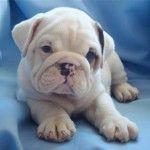 miniature english bulldogs cute