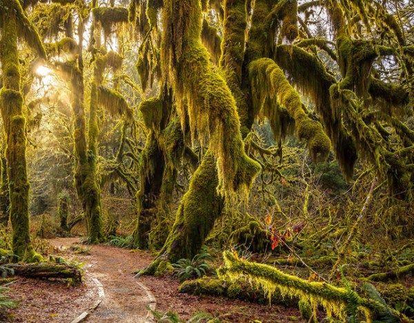 NAS ASAS DO VENTO – Hoh Rainforest. Floresta mágica no Estado de Washington, EUA   Luis Pellegrini