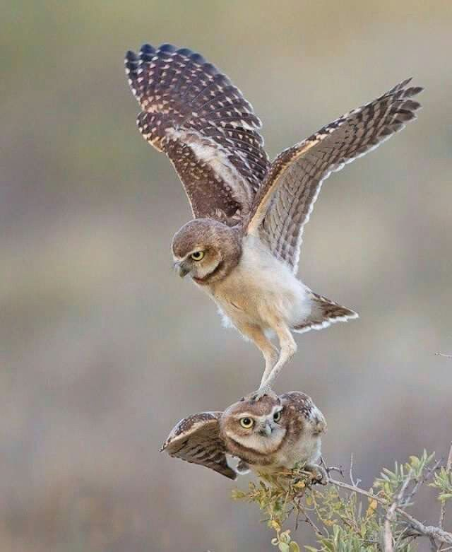 Your right, I can see much better from your head (Burrowing Owls)