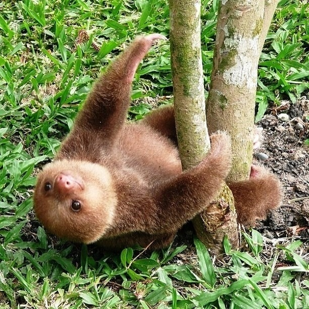 Best LOVE SLOTHS Images On Pinterest Sloths Baby Sloth - 5 month old baby and sloth are the most unlikely of best friends