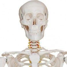 Skelett Modell   Skelett kaufen   lebensgroß 180cm