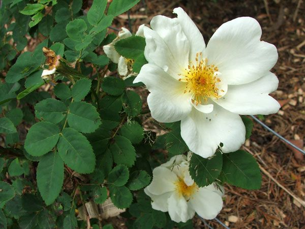 123 best images about out of my garden comes on pinterest sun florida flowers and - Rose cultivars garden ...