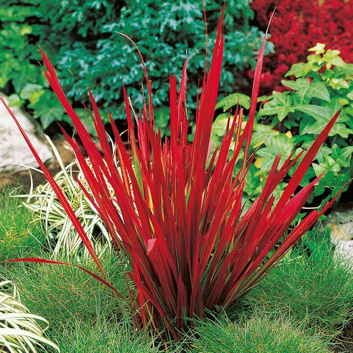 """Japanese Blood Grass - Red Baron. Lime green leaves that turn progressively through burgundy red to claret-blood red in late summer and into autumn. Good drought tolerance once established, height 12-20"""" x spread 12""""."""