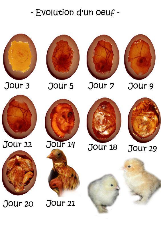 Les 25 meilleures id es concernant couveuse poussin sur for Oeuf de poule mou