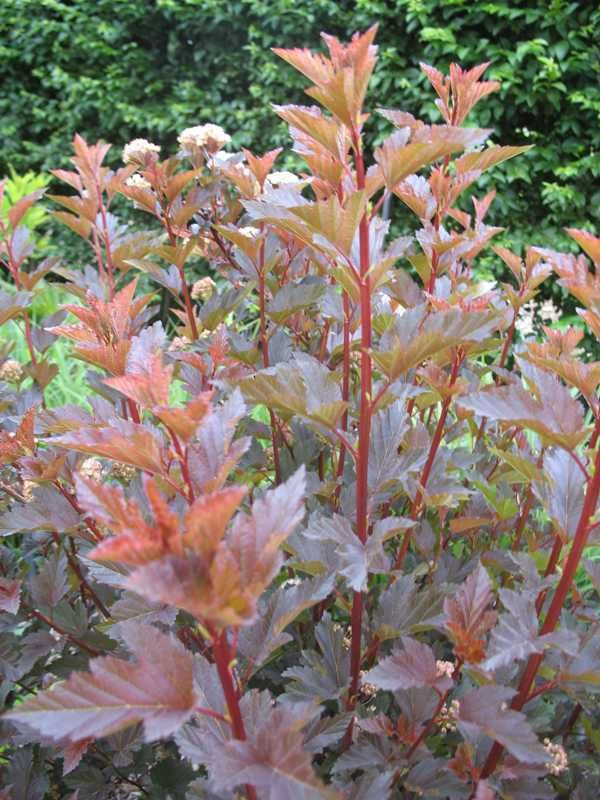SUMMER WINE is a ninebark cultivar that is noted for its deeply cut, wine-red foliage and its dense, free-branching, mounded growth habit. It is the result of a cross between P. opulifolius 'Nanus' (seed parent) and P. opulifolius 'Diabolo' (pollen parent).