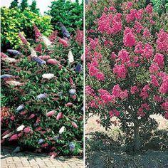 Blüten-Sträucher-Kollektion,2 Pflanzen