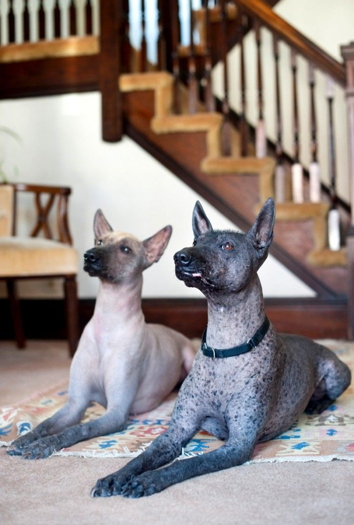 Best 25+ Hairless dog ideas on Pinterest