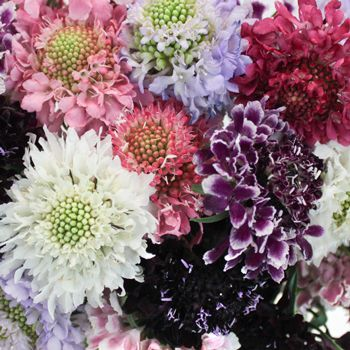 FiftyFlowers.com - Assorted Farm Mix Scabiosa Flower