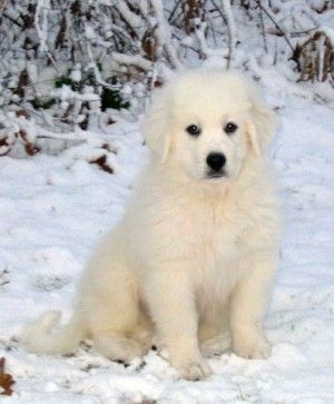 Pyrenean Mountain Dog pup?