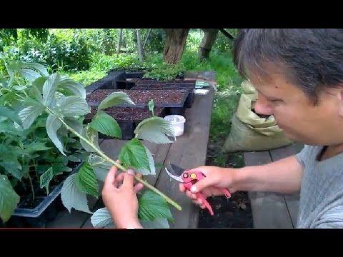 Черенкование малины 5 сортов (эксперимент№2) - YouTube