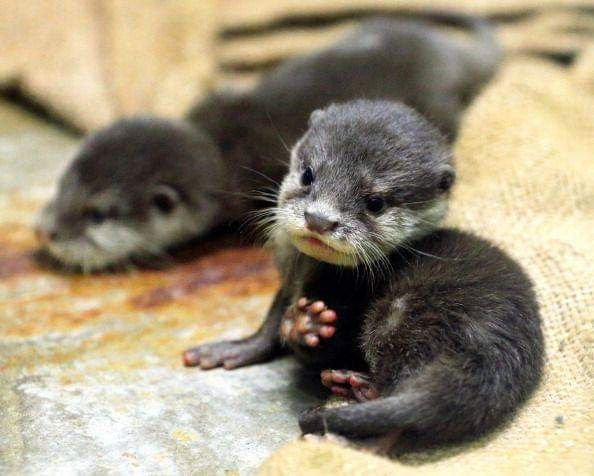 High Five 3 Otters Are Carnivorous Mammals In The Subfamily