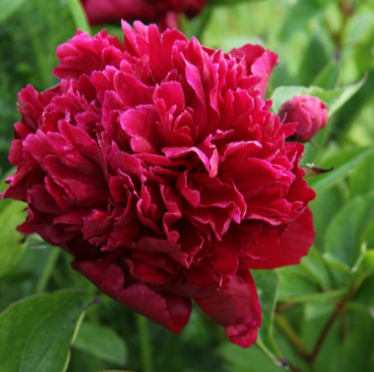 Zehrs Wedding Flowers: Paeonia 'Victoire De La Marne' (Herbaceous Peony