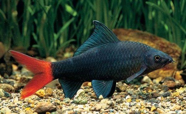 Red Tailed Black Shark Epalzeorhynchus Bicolor Freshwater Aquarium Species For Beginners Fish Freshwater Aq Fish Freshwater Aquarium Tropical Fish Aquarium