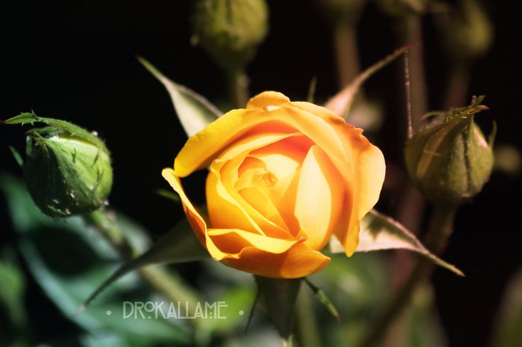 Golden Rose by Drokallame.deviantart.com on @DeviantArt