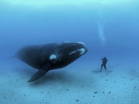 A diver has a close encounter wih a southern right whale – Sophie