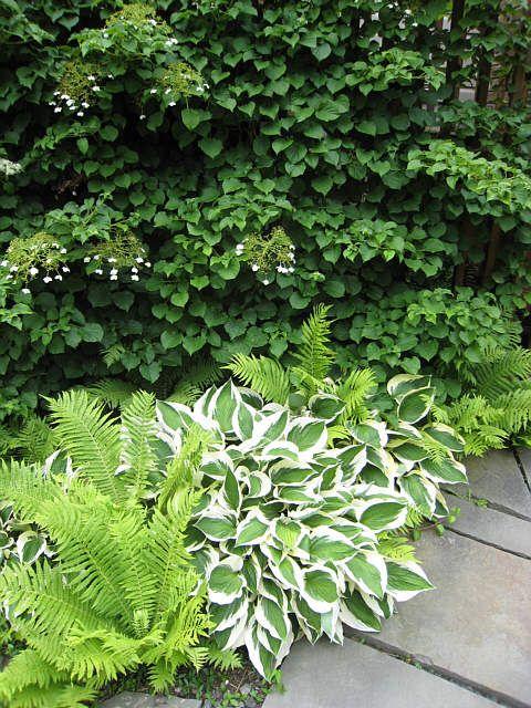 Landscape walkway for the shade.  Hosta, ferns and climbing hydrangea.