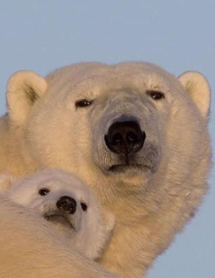 """Polar Bear mother with her youngster .            (""""Mal eine andere Perspektive ..."""")"""