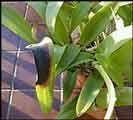 quemaduras hoja de Orquídeas