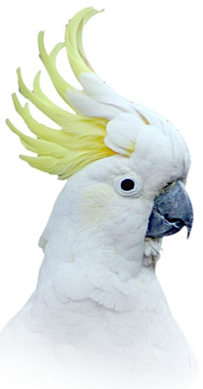 Sulphur Crested Cockatoo   - Explore the World with Travel Nerd Nici, one Country at a Time. http://TravelNerdNici.com