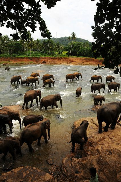 Pinnawala,Sabaragamuwa River,Sri Lanka - herds of elephants often come to this river to drink, you'll almost ALWAYS see a bunch here!!
