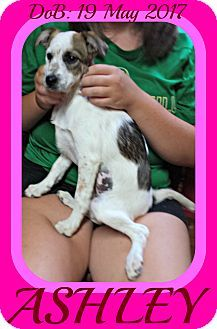 White River Junction, VT - Brittany/Dachshund Mix. Meet ASHLEY, a puppy for adoption. http://www.adoptapet.com/pet/18747044-white-river-junction-vermont-brittany-mix