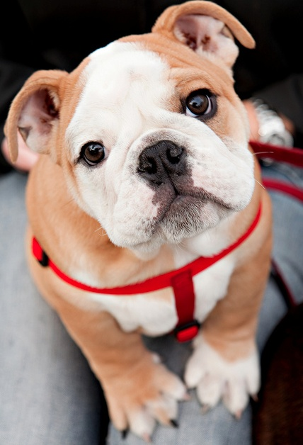 : Bulldog Puppies, Cutest Dogs, English Bulldogs Puppies, Puppies Dogs Eye, Pet, Puppy, Baby, Bull Dogs, Animal