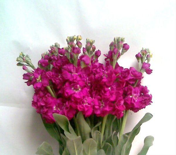 fuchsia stock flowers - Google Search