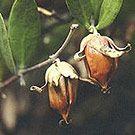 Jojoba seed oil -olejek z nasion jojoby.