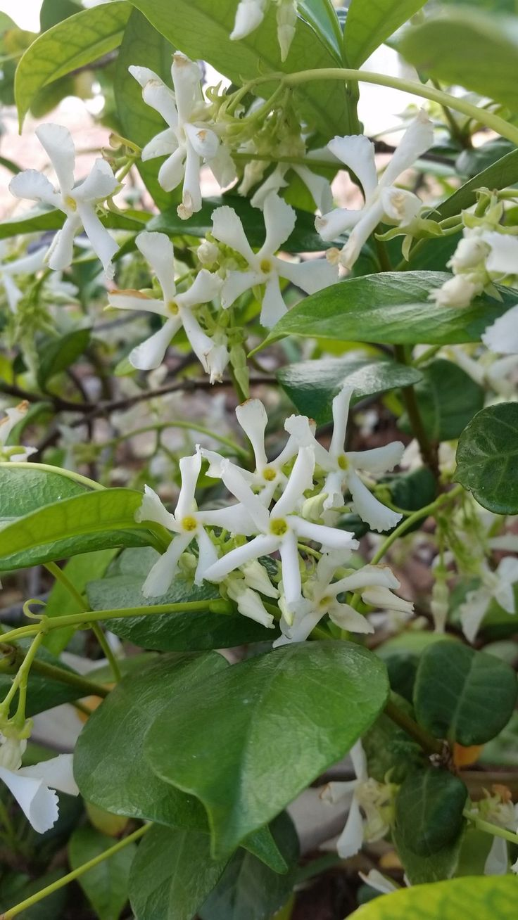 Star Jasmine - Trachelospermum jasminoides --  Popular vine has strongly fragrant white flowers in spring.  Excellent on trellis, fence, entryway or arbor. Likes morning sun, amended well-drained garden soil and moderate water. Fertilize with Dr. Q's Tree Shrub and Vine Food.