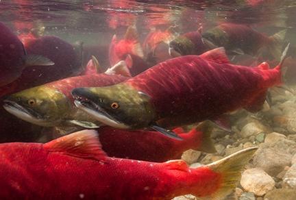 BC Sockeye Salmon Run (Photo: Jett Britnell Photographics)