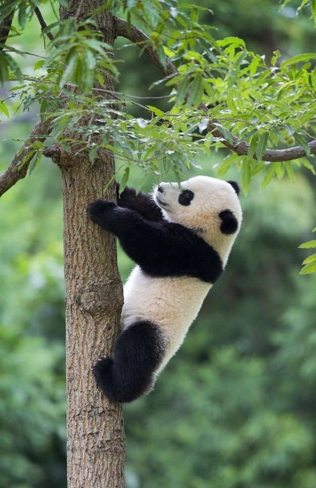 After her birthday party, Bao Bao climbed her favorite hemlock tree… | 15 Ridiculously Adorable Pictures Of Bao Bao The Panda Celebrating Her First Birthday