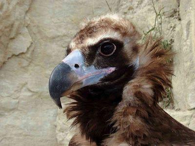 Cinereous vulture, also known as the black- or monk vulture.(Monniksgier) Aegypius Monachus