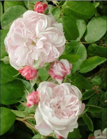 Rose des peintres rosier ancien «Fantin Latour»