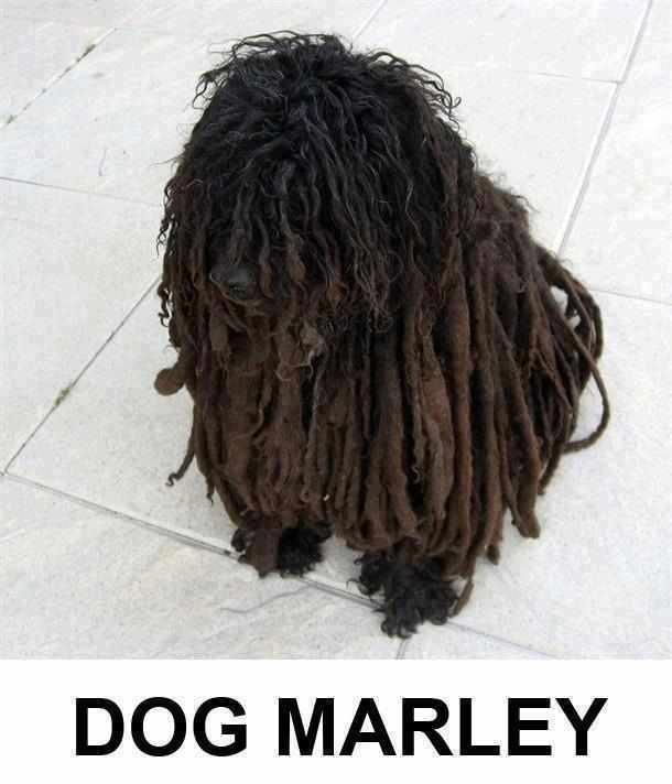 Dog MarleyFunny Funny, Dogs Marley, Doggie Stuff, Bobs Marley, Funny Stuff, Humor, Kyla Face, Furries Friends, Animal