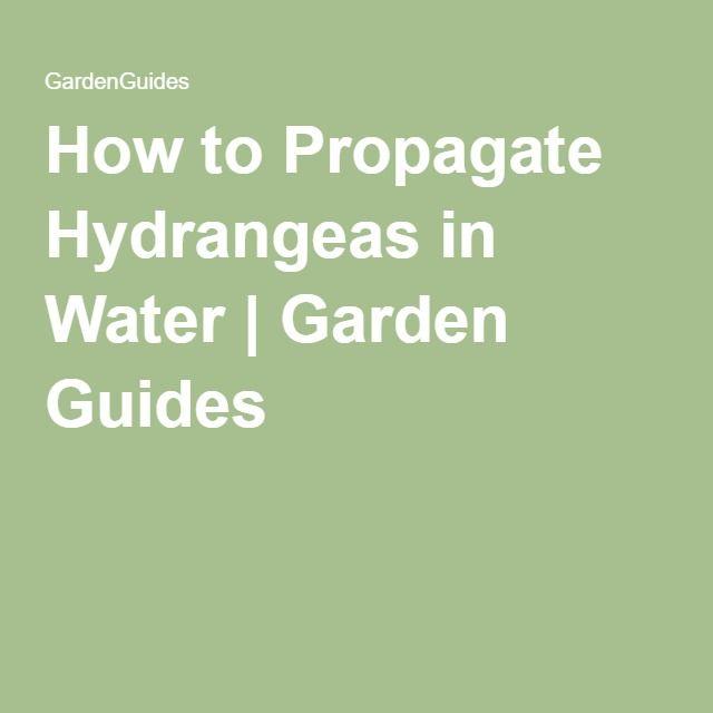 How to Propagate Hydrangeas in Water | Garden Guides