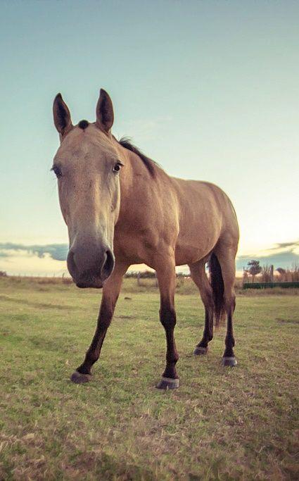 Bay horse (Caballo bayo) | La Pampa | Argentina