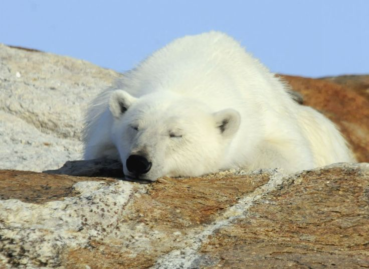It is #PolarBearWeek at Arctic Kingdom. Anyone for a snooze?